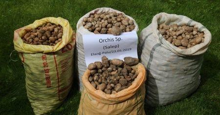 240 bin TL ceza kesilen, salep soğanları tekrar toprakla buluştu