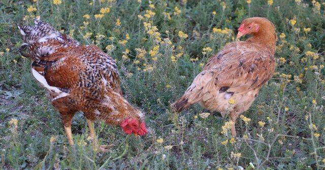 Gezen tavuklar keneye geçit vermiyor