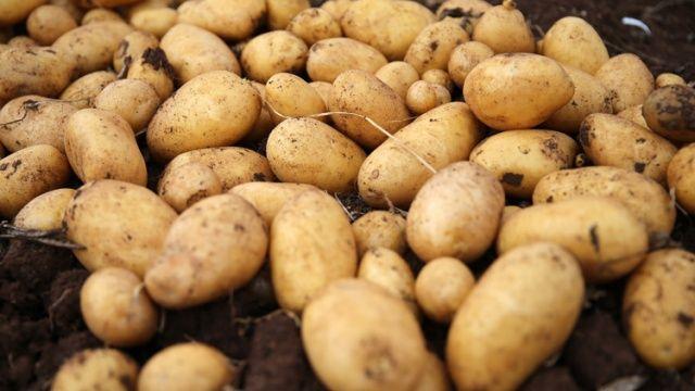 Yerli patates cinsi görücüye çıktı