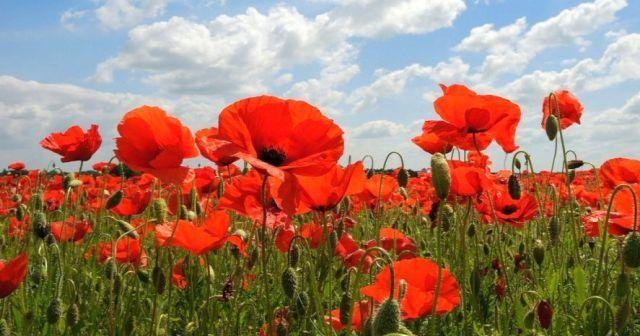 Gelincik Çiçeği Ne Demek, Haşhaş Çiçeğinin Etimolojik Anlamı  nedir?