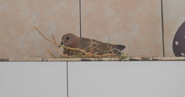 Kuş mutfağına yuva yaptı, onu bırakıp tatile gidemiyor