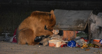 Aç kalan yaban hayvanları şehre indi