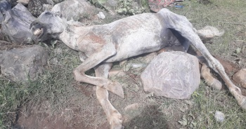 Aşırı yüke dayanamayan atı, ölüme terk ettiler
