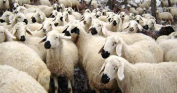 Kurbanlık Koyun fiyatları ne kadar oldu | 2019 Kurbanlık Koyun fiyatları belli oldu mu?
