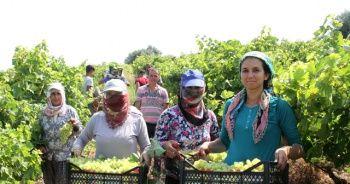 Mersin'de üzüm hasadı devam ediyor