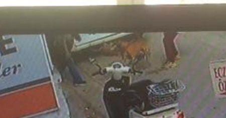 Hamile kediyi Pitbul saldırı