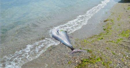 Sahile vurmuş dev balığı görenler şaşkına döndü