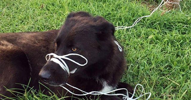 Büyük vicdansızlık! Köpeğin ayağını ve ağzını bağlayıp ölüme terk ettiler