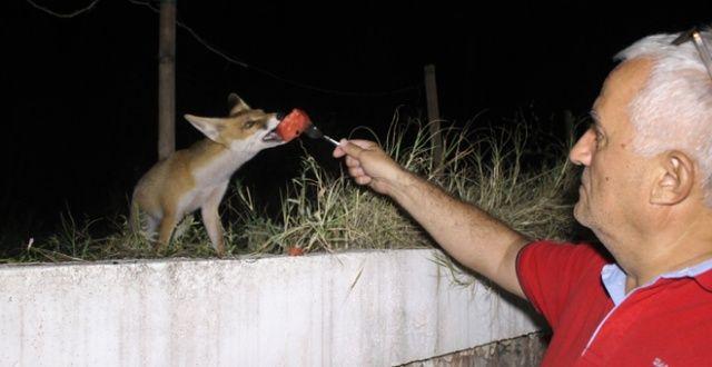 Her akşam ziyaretine gelen tilkiye çatalla yemek yediriyor
