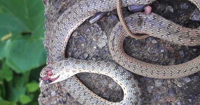 Yaşlı kadını çamaşır asarken yılan soktu