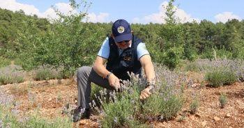 Kıraç arazilerin gözdesi ve mor bereketi: Lavanta