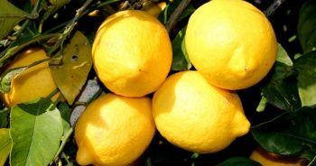 Limon kabuğunun faydaları şaşırtıyor!