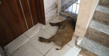 Yaralı halde sokaklarda dolaşan domuz görenleri korkuttu
