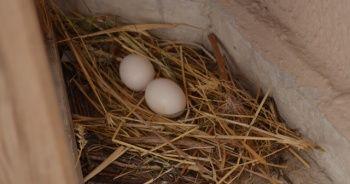 Yumurtlayan güvercine gözleri gibi bakıyorlar