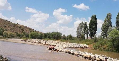 Asırlardır yaşatılan gelenek: Yüzlerce koyun dereden geçirildi