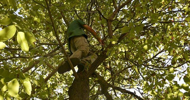 Bir haftada 5 kişi ağaçtan düşerek ağır yaralandı