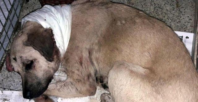 Boğazı kesilip yol kenarına atılan köpek ameliyat edildi