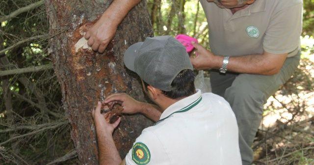 Doğu Karadeniz'i istila eden böceğe karşı biyolojik mücadele başladı