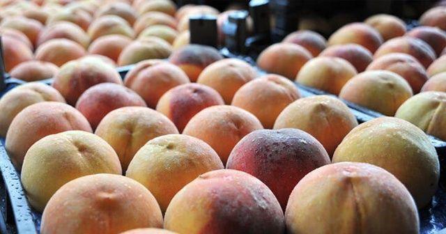 Rusya'ya şeftali ihracatında hedef 50 milyon dolar