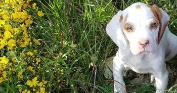 Yavru köpeği 5 ayda ikinci kez çaldılar
