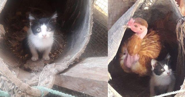 Böylesi görülmedi, tavuk yavru kediyi sahiplendi