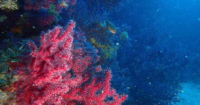 Edremit'in saklı hazinesi kırmızı mercanlar koruma altına alınacak