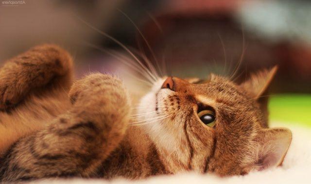 Kedi Tür ve Irkları Kedi Irklarının Karakteristik Özellikleri