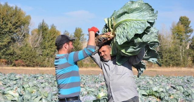 Yozgat'ta dev lahana hasadı
