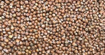 'Fındıkta ihracat sezonun ilk ayında geçen yıla göre yüzde 75 arttı'
