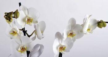 Orkide nasıl bakılır sulanır, Evde orkide bakmanın püf noktaları