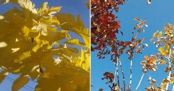 Sonbaharda incir ve armut ağacı meyve verdi