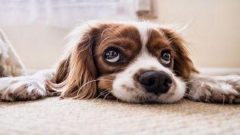 Süs köpeği cinsleri ve özellikleri: Süs köpekleri ile ilgili bilgiler