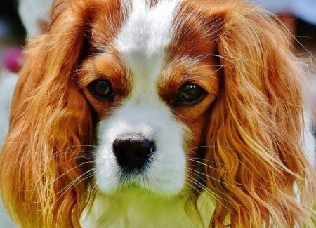 Süs Köpeği Cinsleri ve Özellikleri / Süs Köpekleri İle İlgili Bilgiler