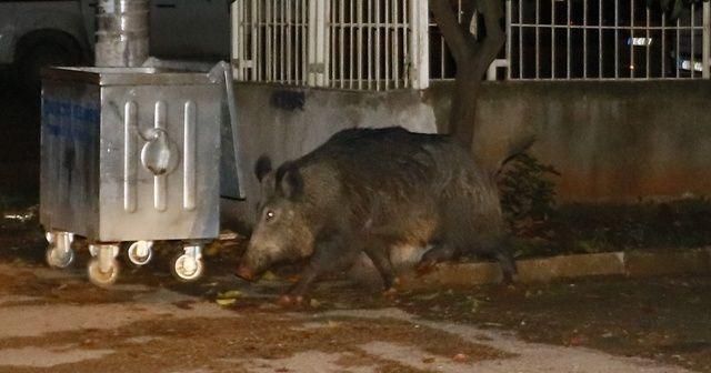 Aç kalan yaban domuzu şehre indi