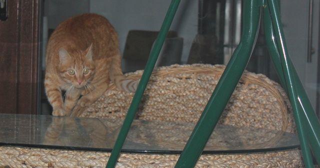 Şaşkınlık veren olay: Sokak kedisi adeta terör estiriyor