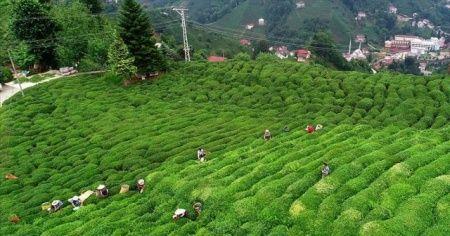 İşte çay ihracatından elde edilen gelir