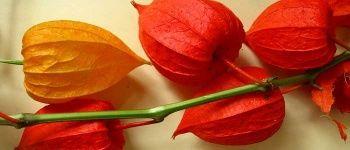 Altın Çilek Nedir? / Altın Çilek Meyvesinin Sağlığa Faydaları