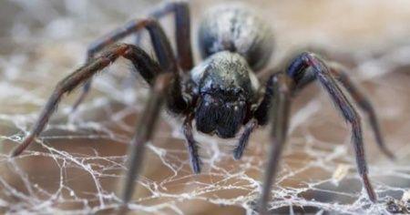Avustralya'da bu kez de 'zehirli örümcek' krizi