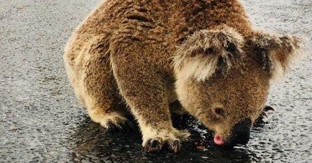 Avustralya yangınları sonrası su sevinci