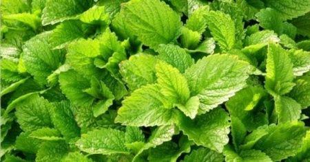 Melisa çayının faydaları nelerdir melisa çayı nasıl içilir tüketilir