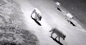 Aç kalan kurtlar köye indi