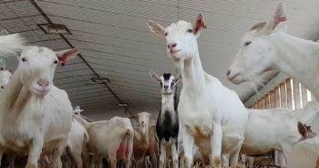 Keçi sütü sabunu ne işe yarar faydaları nelerdir evde keçi sütü sabunu yapımı