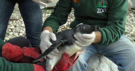 Hayvanat bahçesinde penguenlere çipli takip