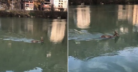 Su içmek isterken baraj gölüne düştü! O anlar kameraya yansıdı