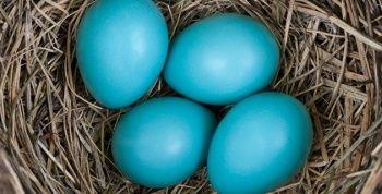 Mavi Yumurta Nedir? / Faydaları Nelerdir? / Mavi Yumurtlayan Tavuk Özellikleri