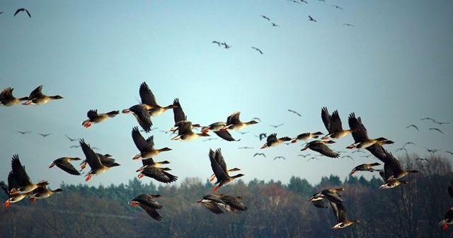 Trump yönetimi milyarlarca kuşun ölümüne neden olabilir