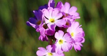 Ağrı'nın dağlarında açan çiçekler görsel şölen sunuyor