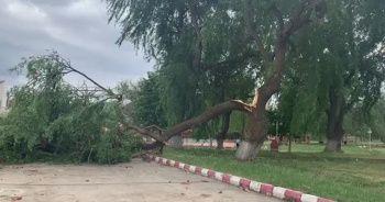 Şiddetli rüzgar ağacı ikiye böldü