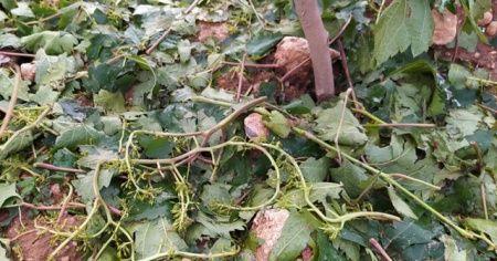 Kahta'da dolu yağışı çiftçiyi vurdu