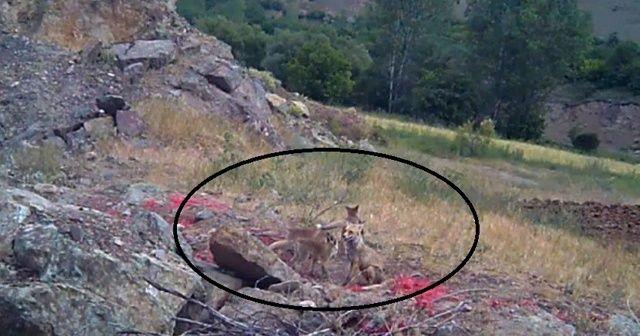 Erzincan'da tilki ailesi görüntülendi